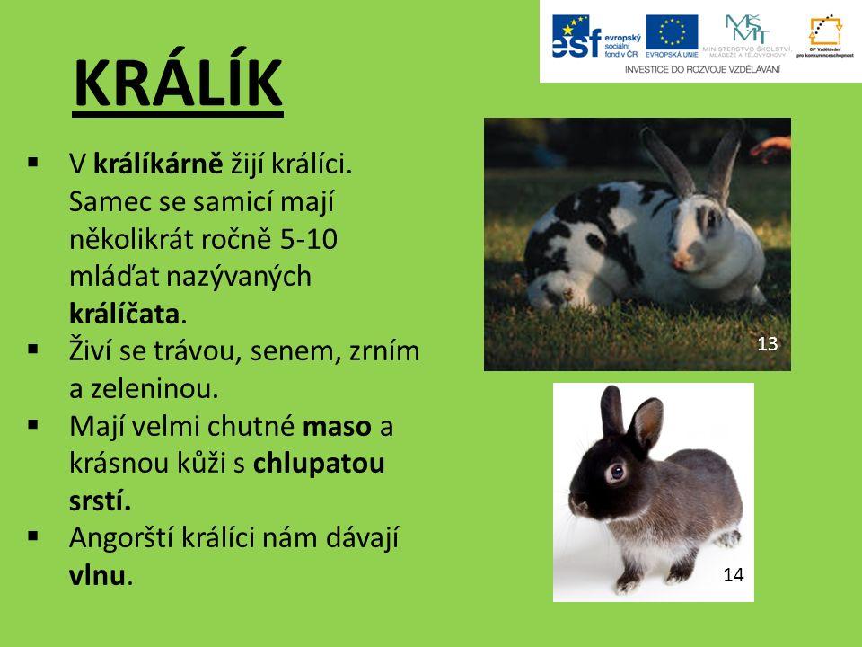 KRÁLÍK  V králíkárně žijí králíci.