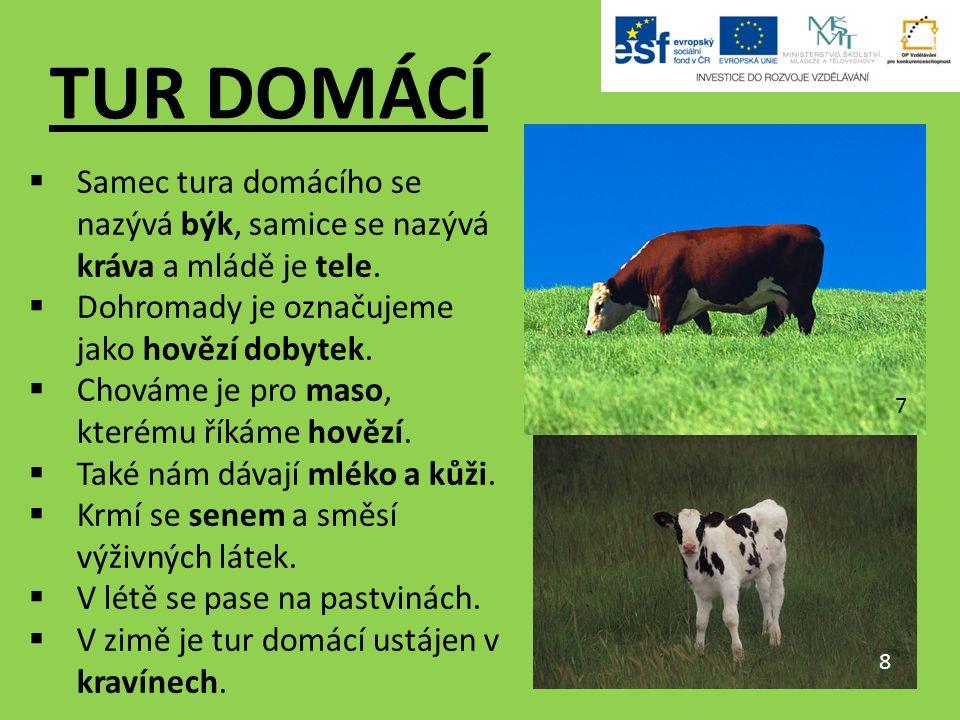TUR DOMÁCÍ  Samec tura domácího se nazývá býk, samice se nazývá kráva a mládě je tele.