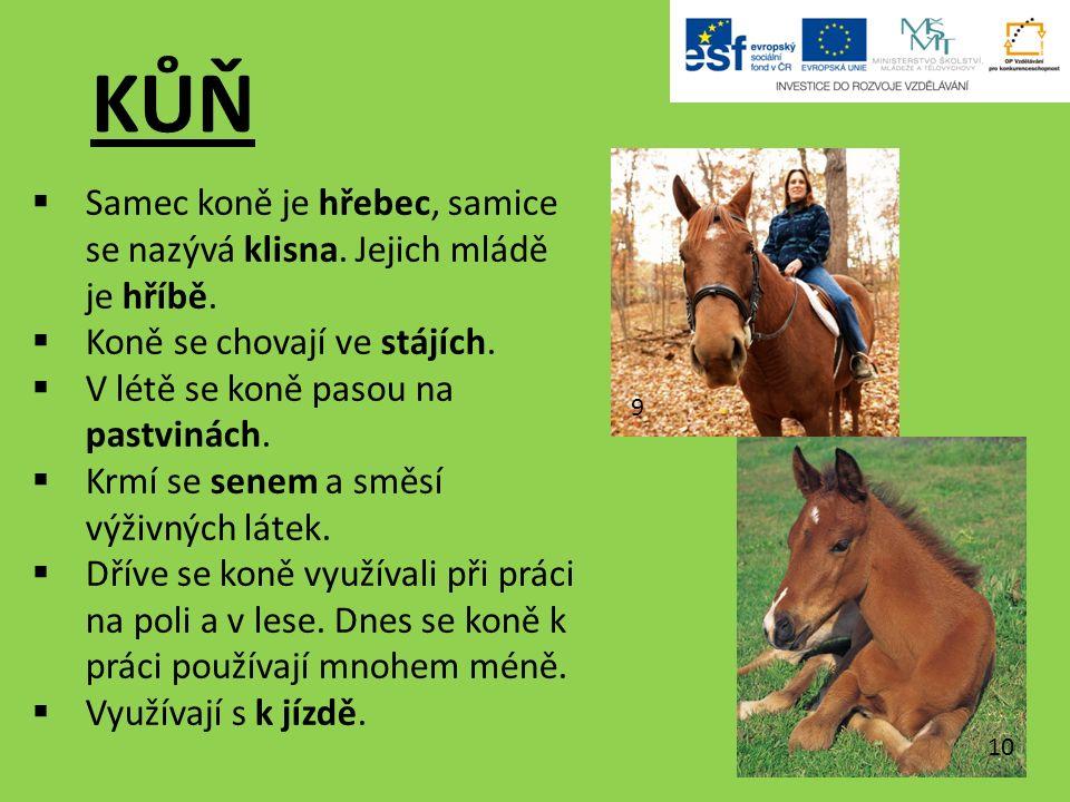 KŮŇ  Samec koně je hřebec, samice se nazývá klisna.