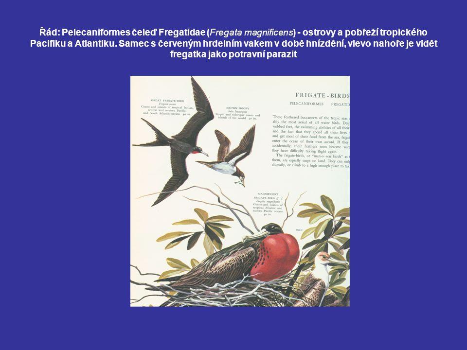 Řád: Pelecaniformes čeleď Fregatidae (Fregata magnificens) - ostrovy a pobřeží tropického Pacifiku a Atlantiku.