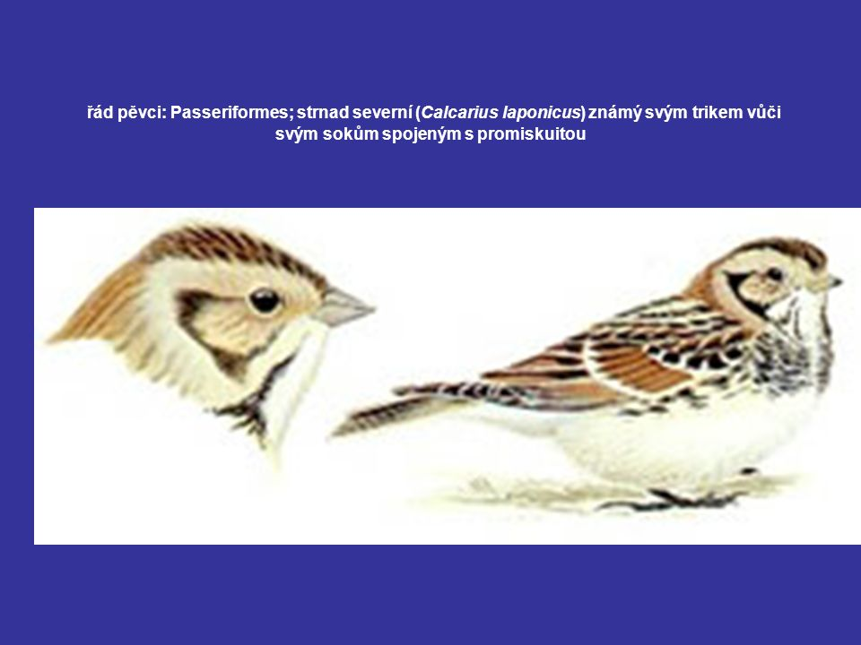 řád pěvci: Passeriformes; strnad severní (Calcarius laponicus) známý svým trikem vůči svým sokům spojeným s promiskuitou