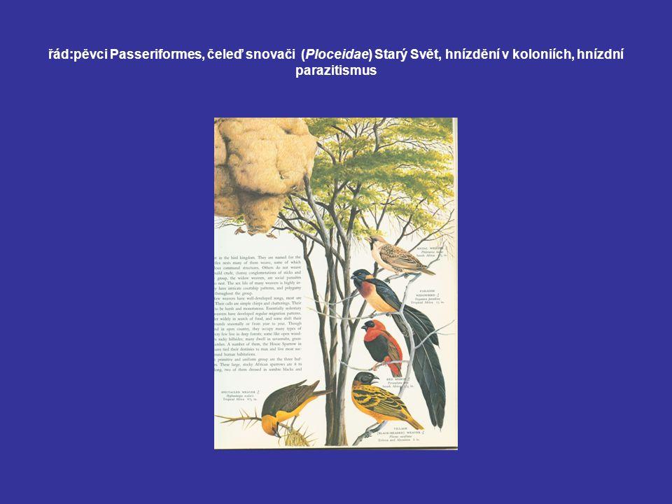 řád:pěvci Passeriformes, čeleď snovači (Ploceidae) Starý Svět, hnízdění v koloniích, hnízdní parazitismus