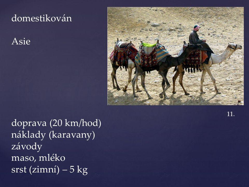 domestikován Asie doprava (20 km/hod) náklady (karavany) závody maso, mléko srst (zimní) – 5 kg 11.