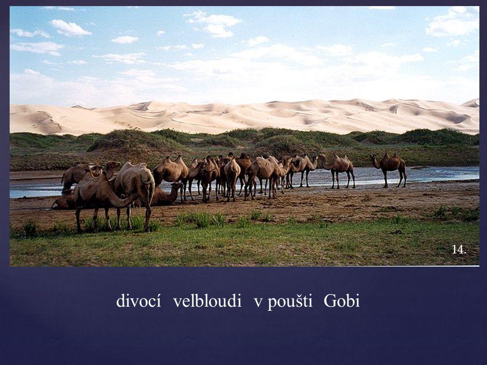divocí velbloudi v poušti Gobi 14.