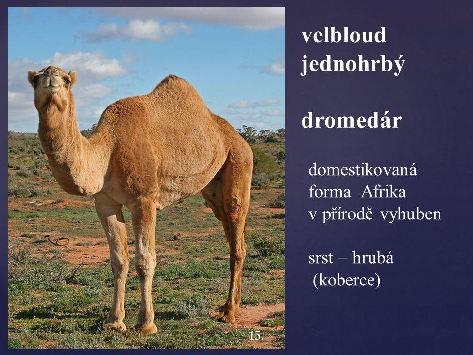 velbloud jednohrbý dromedár domestikovaná forma Afrika v přírodě vyhuben srst – hrubá (koberce) 15.