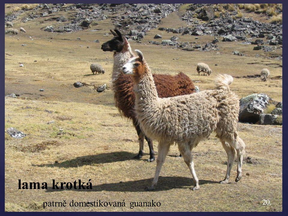 lama krotká patrně domestikovaná guanako 20.