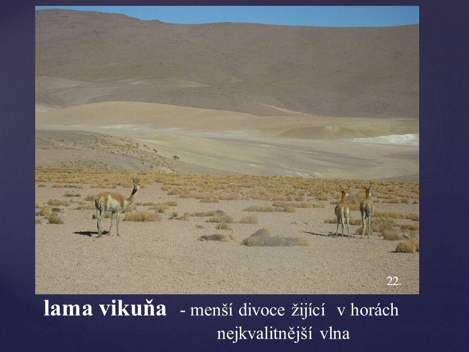 lama vikuňa - menší divoce žijící v horách nejkvalitnější vlna 22.