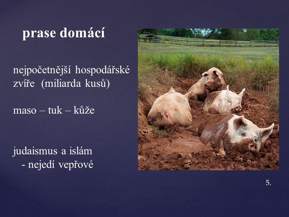 prase domácí nejpočetnější hospodářské zvíře (miliarda kusů) maso – tuk – kůže judaismus a islám - nejedí vepřové 5.