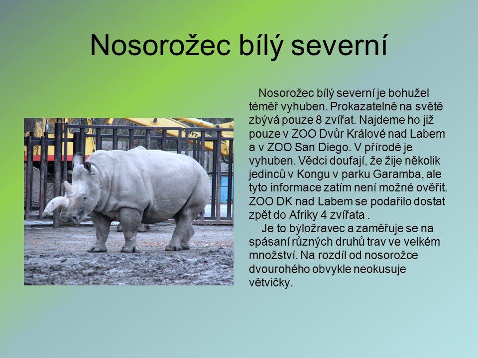 Nosorožec bílý severní Nosorožec bílý severní je bohužel téměř vyhuben. Prokazatelně na světě zbývá pouze 8 zvířat. Najdeme ho již pouze v ZOO Dvůr Kr