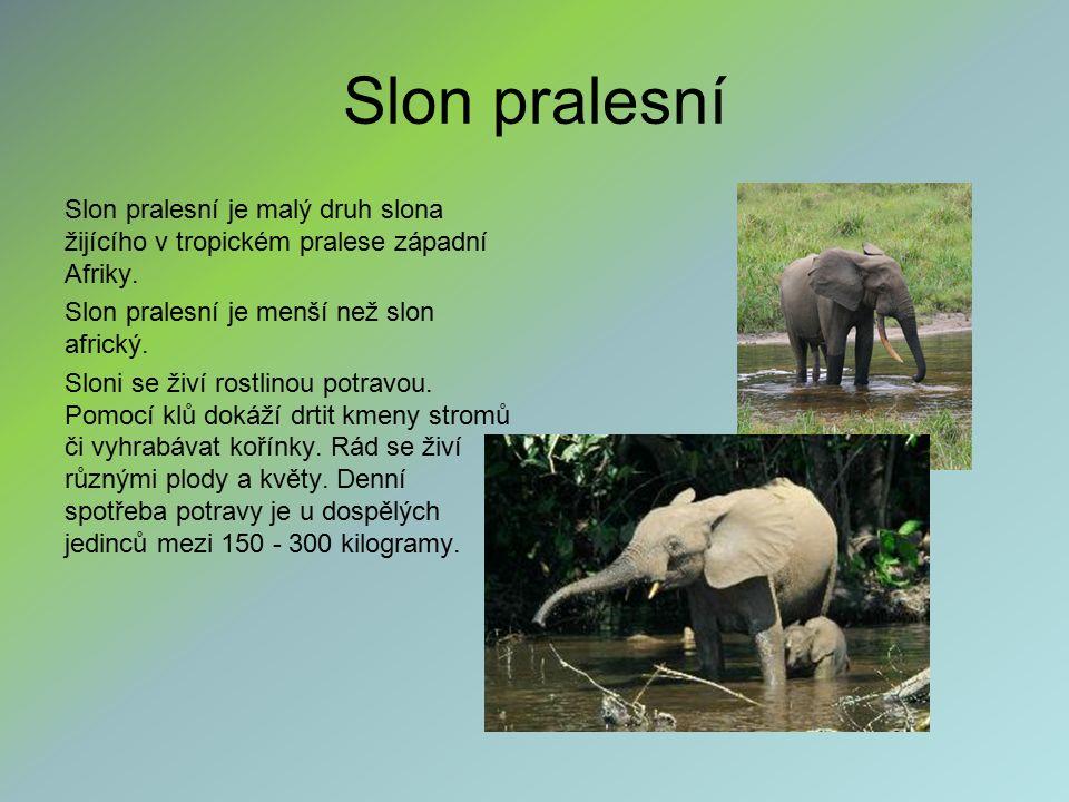 Slon pralesní Slon pralesní je malý druh slona žijícího v tropickém pralese západní Afriky. Slon pralesní je menší než slon africký. Sloni se živí ros