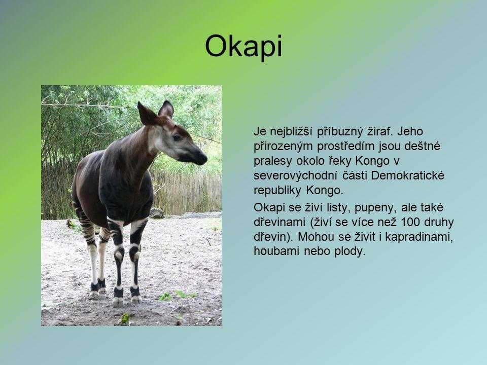 Okapi Je nejbližší příbuzný žiraf. Jeho přirozeným prostředím jsou deštné pralesy okolo řeky Kongo v severovýchodní části Demokratické republiky Kongo