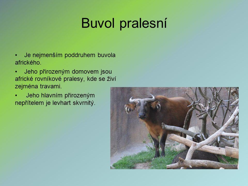 Buvol pralesní Je nejmenším poddruhem buvola afrického. Jeho přirozeným domovem jsou africké rovníkové pralesy, kde se živí zejména travami. Jeho hlav