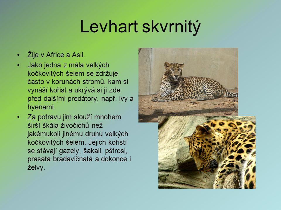 Levhart skvrnitý Žije v Africe a Asii. Jako jedna z mála velkých kočkovitých šelem se zdržuje často v korunách stromů, kam si vynáší kořist a ukrývá s