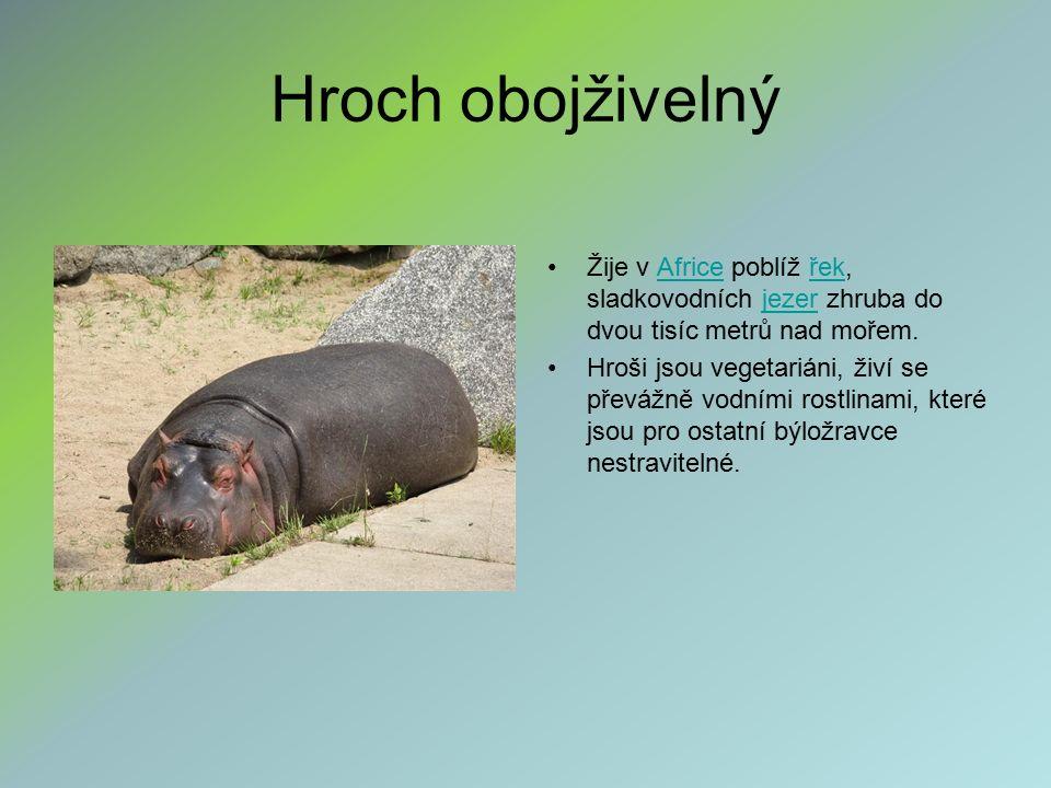 Hroch obojživelný Žije v Africe poblíž řek, sladkovodních jezer zhruba do dvou tisíc metrů nad mořem.Africeřekjezer Hroši jsou vegetariáni, živí se převážně vodními rostlinami, které jsou pro ostatní býložravce nestravitelné.