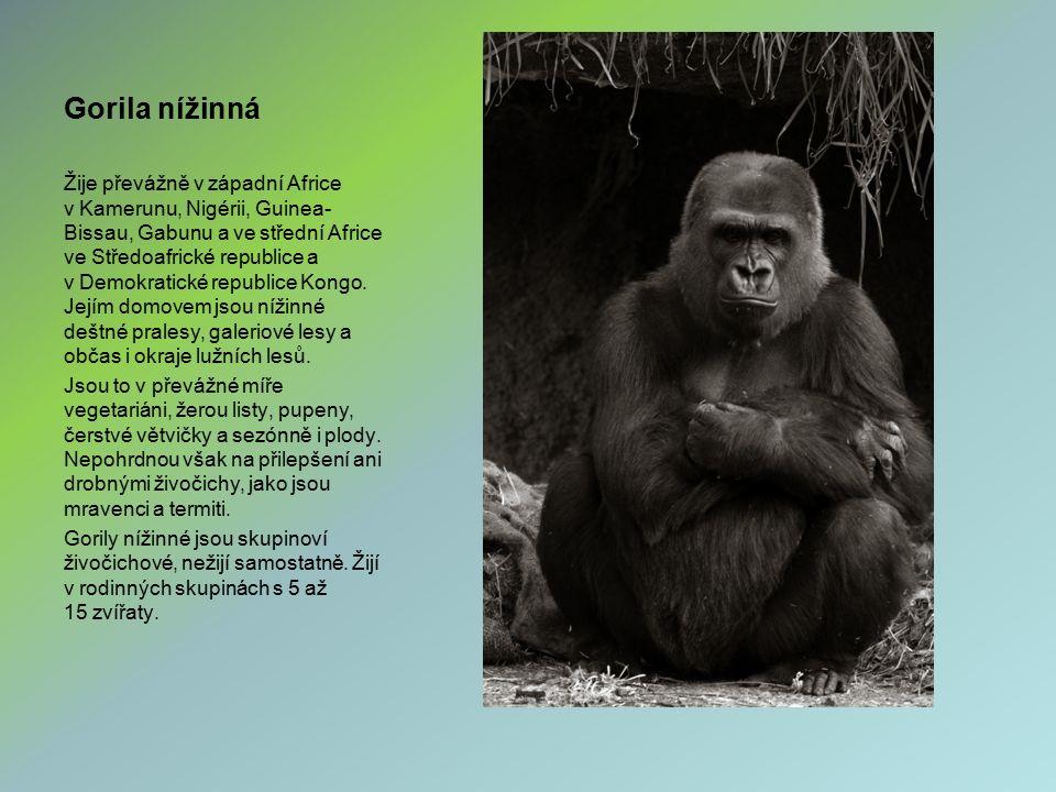 Gorila nížinná Žije převážně v západní Africe v Kamerunu, Nigérii, Guinea- Bissau, Gabunu a ve střední Africe ve Středoafrické republice a v Demokrati