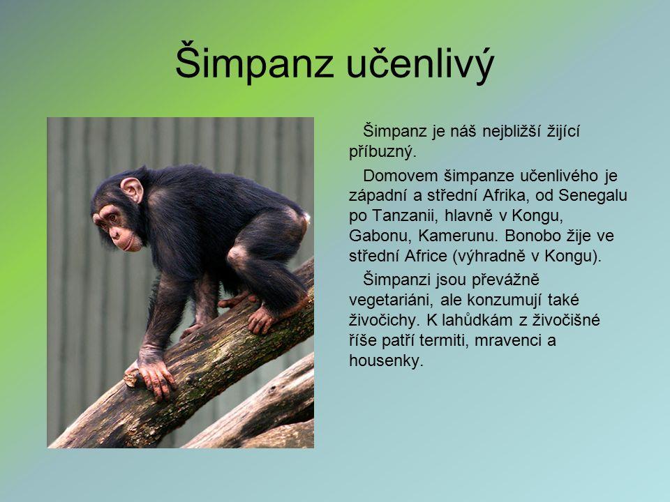 Šimpanz učenlivý Šimpanz je náš nejbližší žijící příbuzný. Domovem šimpanze učenlivého je západní a střední Afrika, od Senegalu po Tanzanii, hlavně v