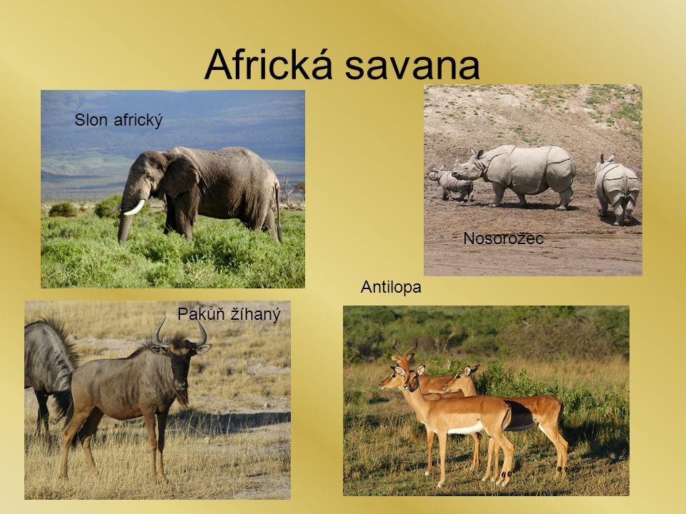 Antilopa Africká savana Pakůň žíhaný Nosorožec Slon africký