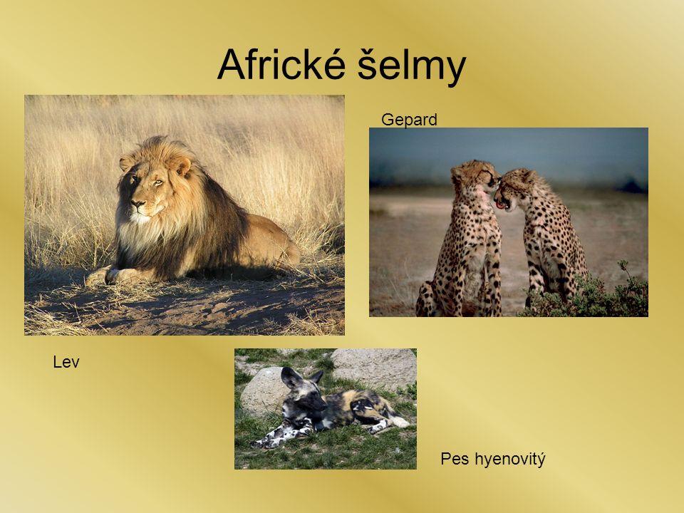 Africké šelmy Lev Pes hyenovitý Gepard