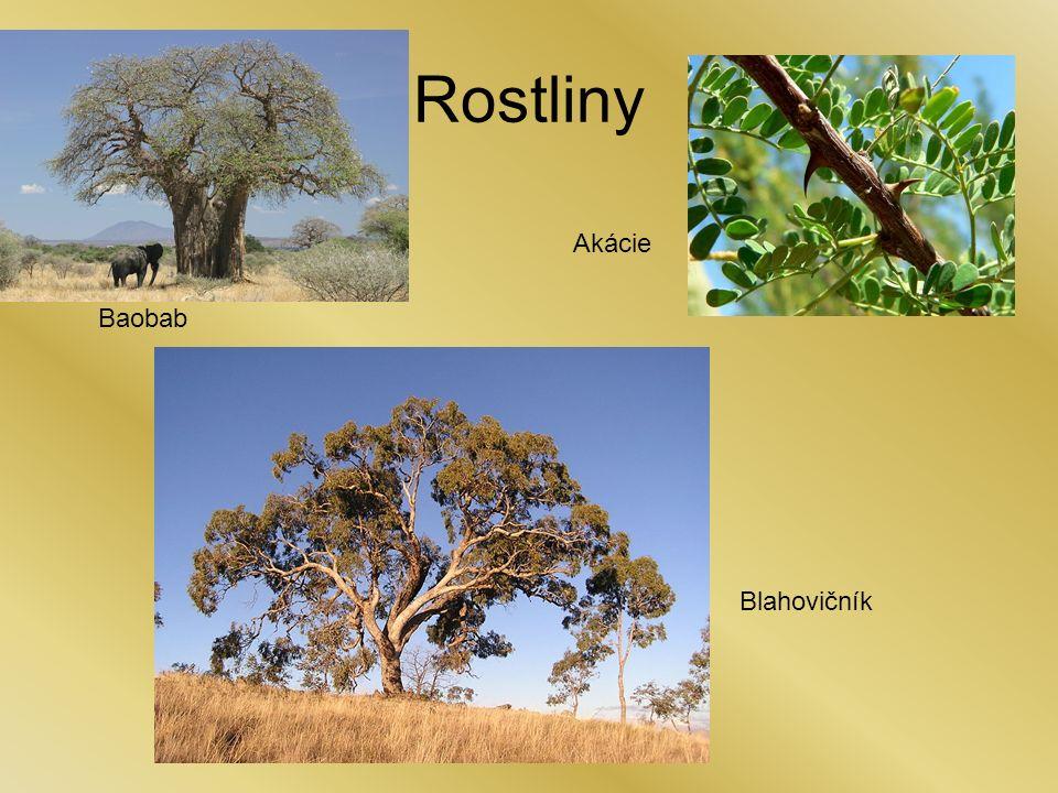 Rostliny Baobab Akácie Blahovičník