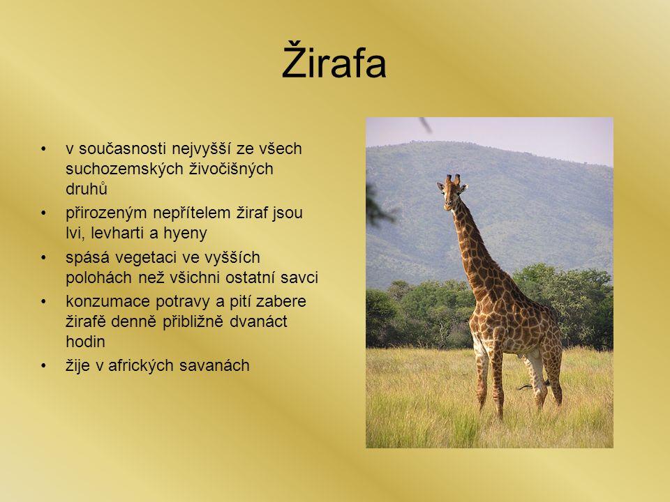 Žirafa v současnosti nejvyšší ze všech suchozemských živočišných druhů přirozeným nepřítelem žiraf jsou lvi, levharti a hyeny spásá vegetaci ve vyšších polohách než všichni ostatní savci konzumace potravy a pití zabere žirafě denně přibližně dvanáct hodin žije v afrických savanách