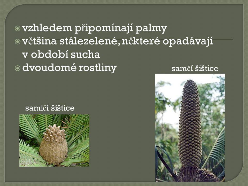  vzhledem p ř ipomínají palmy  v ě tšina stálezelené, n ě které opadávají v období sucha  dvoudomé rostliny sam č í šištice sami č í šištice
