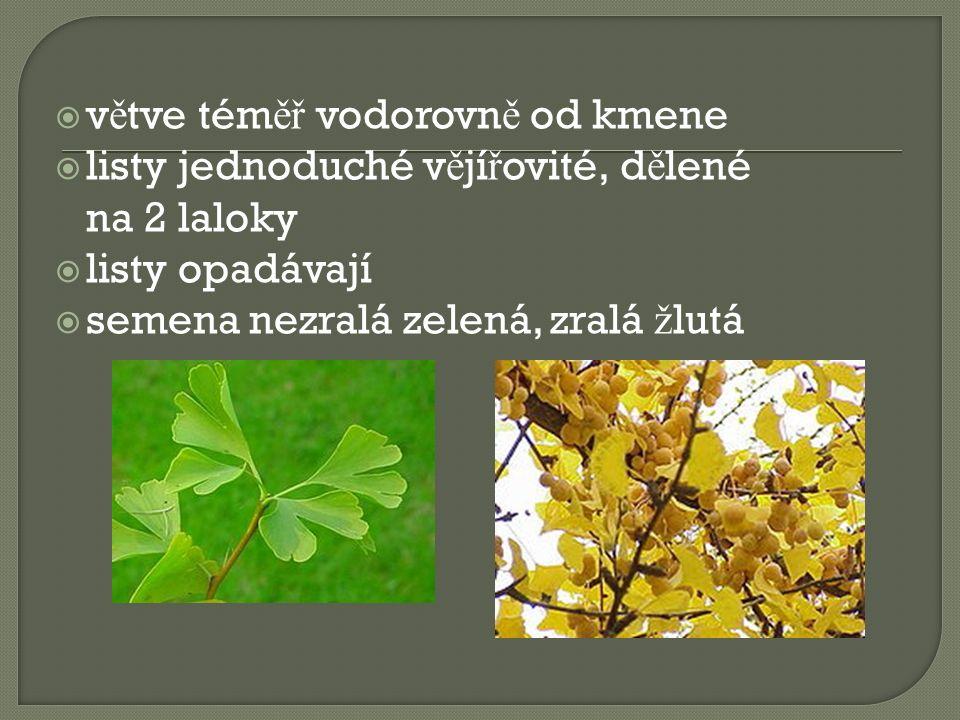  v ě tve tém ěř vodorovn ě od kmene  listy jednoduché v ě jí ř ovité, d ě lené na 2 laloky  listy opadávají  semena nezralá zelená, zralá ž lutá
