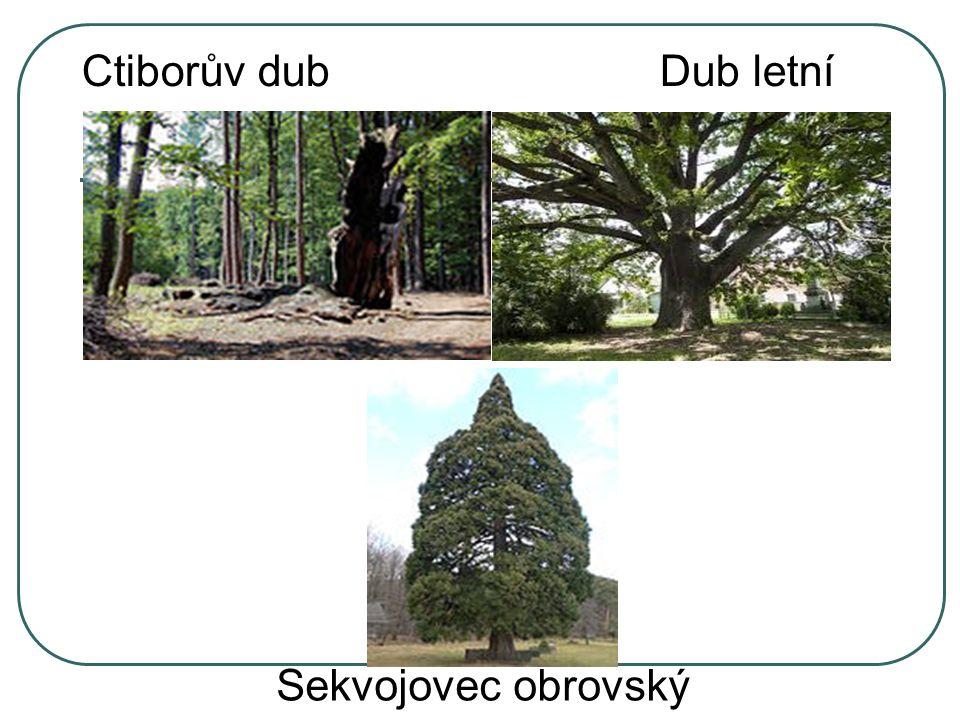 Ctiborův dub Dub letní Sekvojovec obrovský