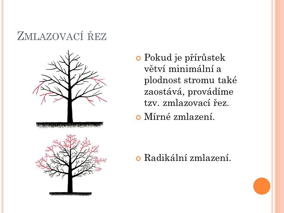 Z MLAZOVACÍ ŘEZ Pokud je přírůstek větví minimální a plodnost stromu také zaostává, provádíme tzv.