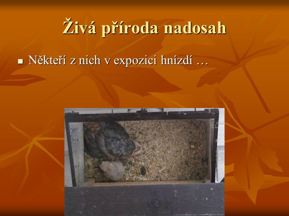 Někteří z nich v expozici hnízdí … Někteří z nich v expozici hnízdí … Například sovy pálené i dvakrát ročně.