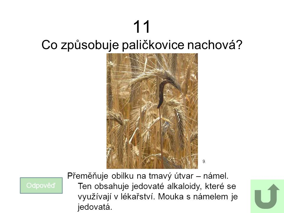 11 Co způsobuje paličkovice nachová. Odpověď Přeměňuje obilku na tmavý útvar – námel.