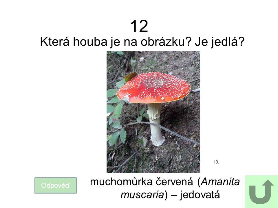 12 Která houba je na obrázku? Je jedlá? Odpověď muchomůrka červená (Amanita muscaria) – jedovatá 10.