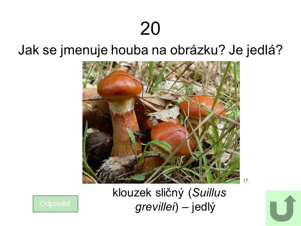 20 Jak se jmenuje houba na obrázku? Je jedlá? Odpověď klouzek sličný (Suillus grevillei) – jedlý 17.