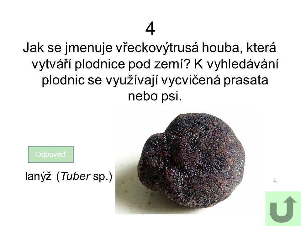 4 Jak se jmenuje vřeckovýtrusá houba, která vytváří plodnice pod zemí? K vyhledávání plodnic se využívají vycvičená prasata nebo psi. Odpověď 4. lanýž