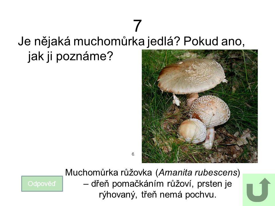 7 Je nějaká muchomůrka jedlá? Pokud ano, jak ji poznáme? Odpověď Muchomůrka růžovka (Amanita rubescens) – dřeň pomačkáním růžoví, prsten je rýhovaný,