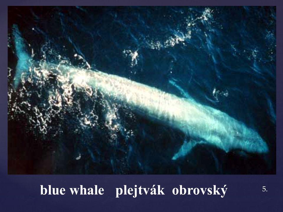 blue whale plejtvák obrovský 5.