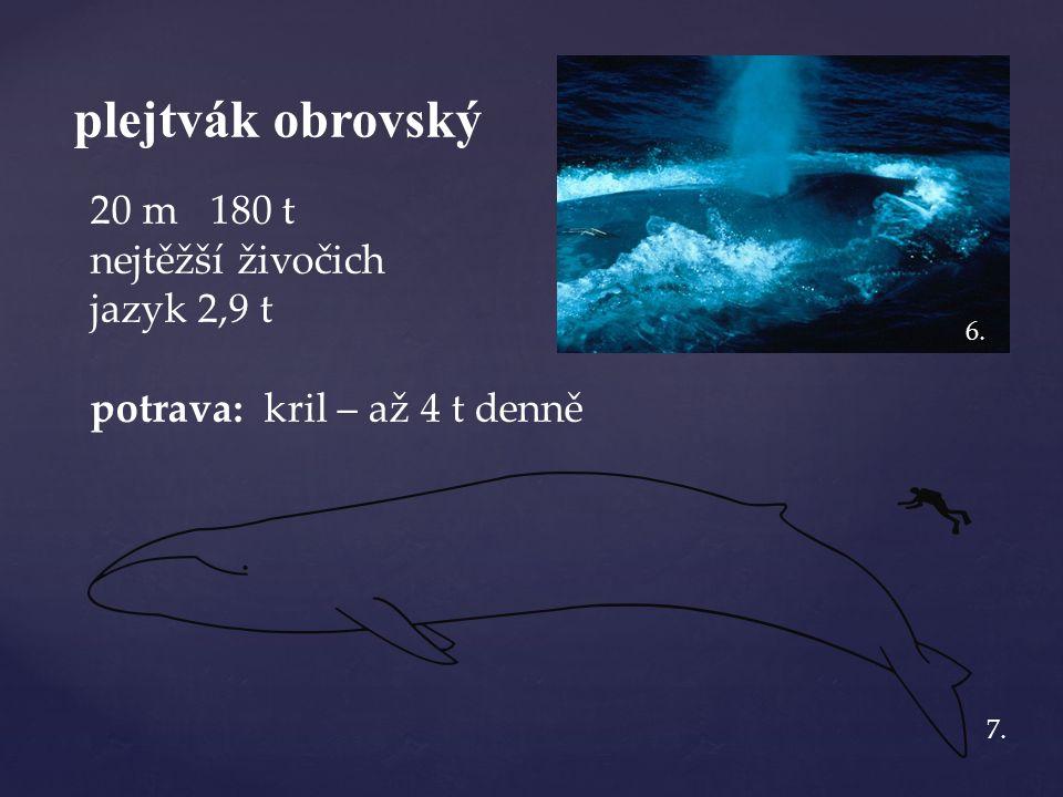 plejtvák obrovský 20 m 180 t nejtěžší živočich jazyk 2,9 t potrava: kril – až 4 t denně 6. 7.