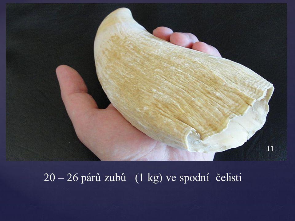 20 – 26 párů zubů (1 kg) ve spodní čelisti 11.