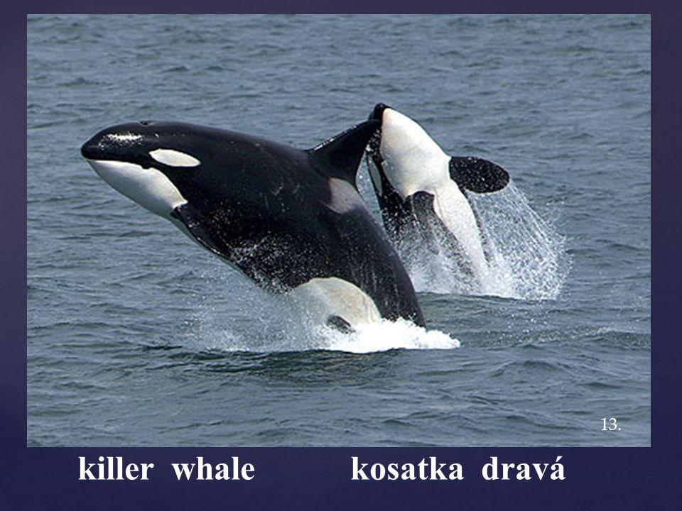 killer whale kosatka dravá 13.