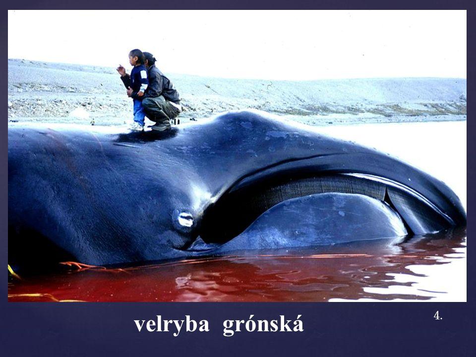 velryba grónská 4.