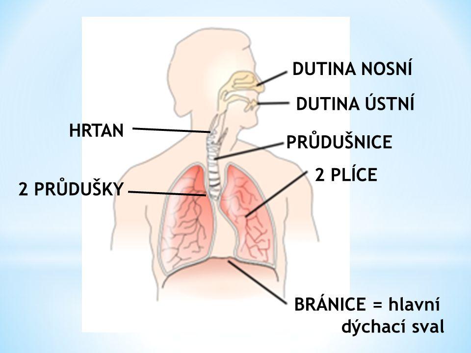 DUTINA NOSNÍ DUTINA ÚSTNÍ PRŮDUŠNICE 2 PLÍCE BRÁNICE = hlavní dýchací sval 2 PRŮDUŠKY HRTAN