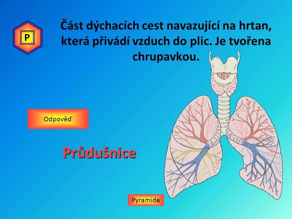 Část dýchacích cest navazující na hrtan, která přivádí vzduch do plic.