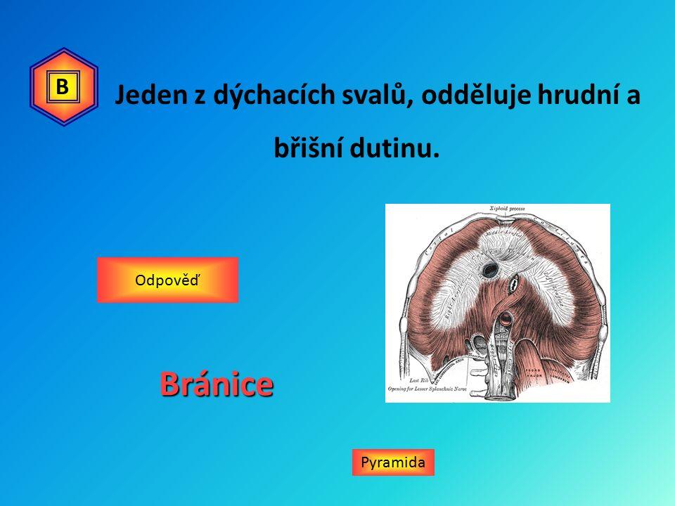 Jeden z dýchacích svalů, odděluje hrudní a břišní dutinu. Bránice Odpověď Pyramida B