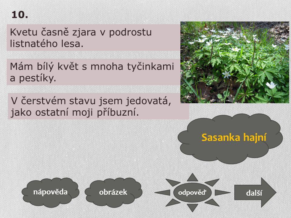 Kvetu časně zjara v podrostu listnatého lesa. obrázek odpověď nápověda další 10. Mám bílý květ s mnoha tyčinkami a pestíky. V čerstvém stavu jsem jedo