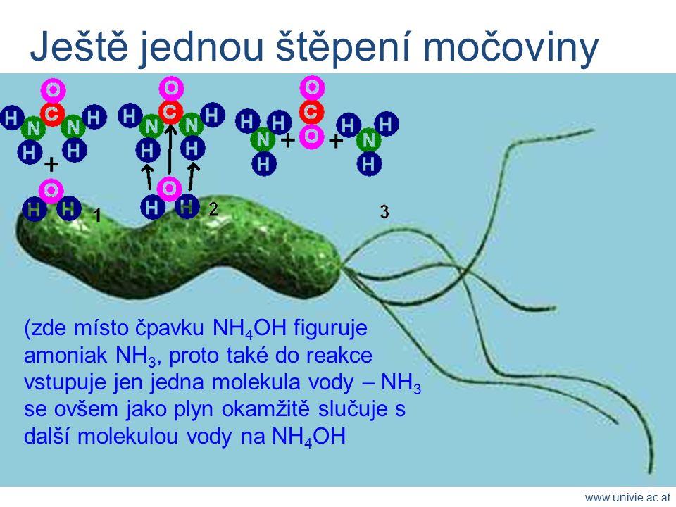 Ještě jednou štěpení močoviny (zde místo čpavku NH 4 OH figuruje amoniak NH 3, proto také do reakce vstupuje jen jedna molekula vody – NH 3 se ovšem jako plyn okamžitě slučuje s další molekulou vody na NH 4 OH www.univie.ac.at