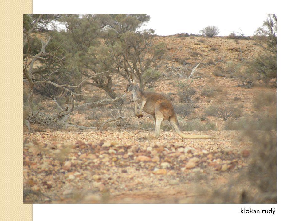 klokan rudý