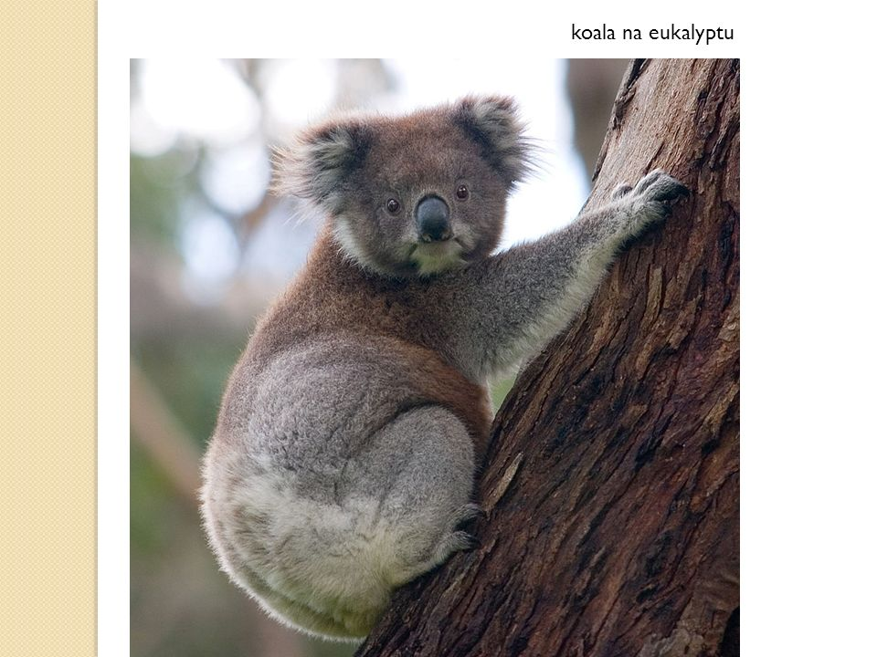 koala na eukalyptu