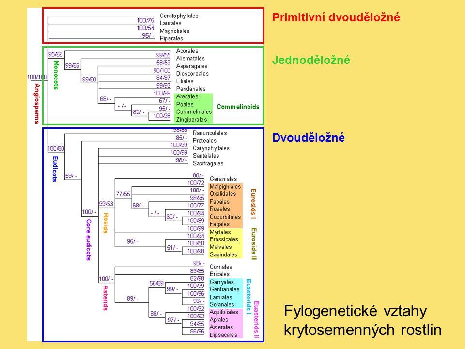 Fylogenetické vztahy krytosemenných rostlin Primitivní dvouděložné Jednoděložné Dvouděložné