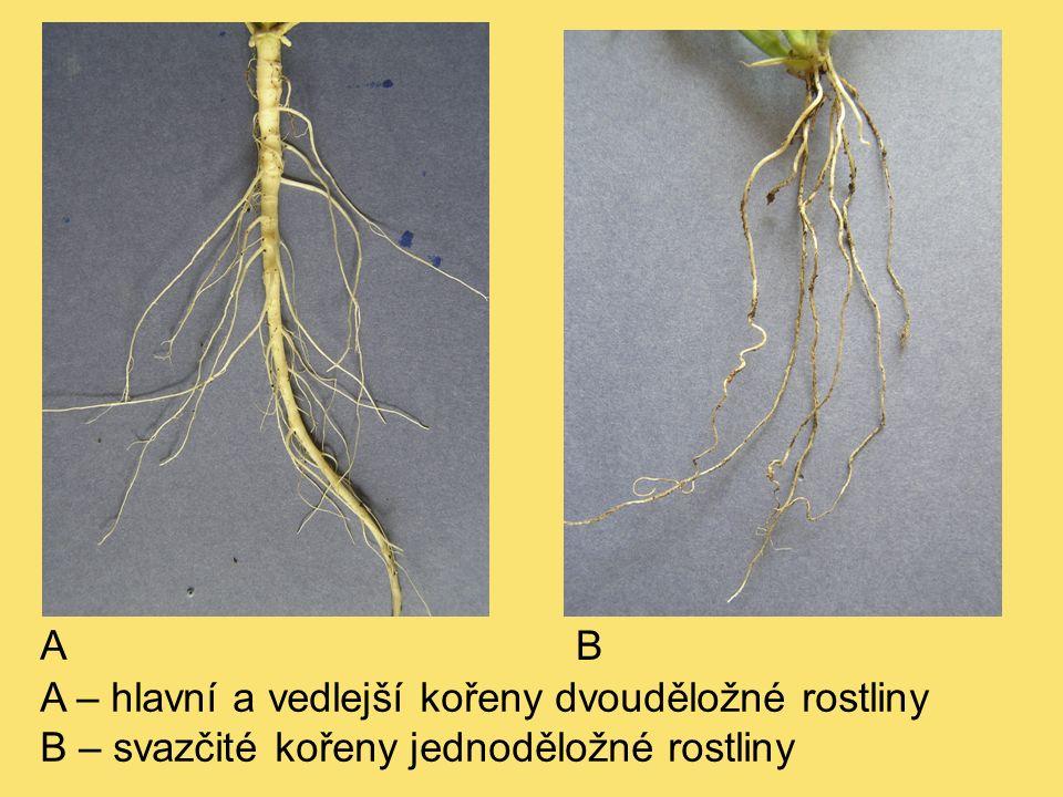 A – hlavní a vedlejší kořeny dvouděložné rostliny B – svazčité kořeny jednoděložné rostliny A B