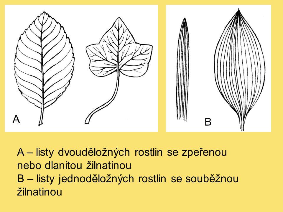A B A – listy dvouděložných rostlin se zpeřenou nebo dlanitou žilnatinou B – listy jednoděložných rostlin se souběžnou žilnatinou