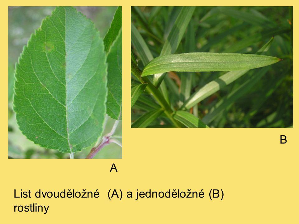 List dvouděložné (A) a jednoděložné (B) rostliny A B